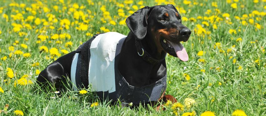 Austria Dobermann News